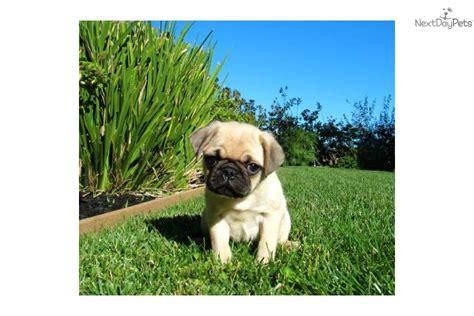 california pug breeders cheap pug puppies for sale in california