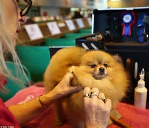 pomeranian crufts dogs arrive for day of 2015 crufts show daily mail