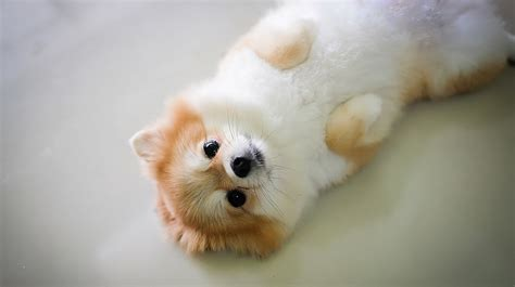 buy pomeranian the pomeranian the happy puppy site