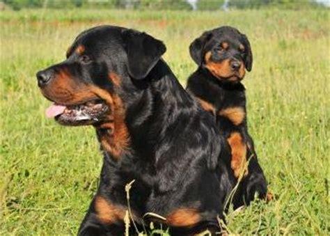 fotos de perros rottweiler rottweiler razas de perros mundo animal