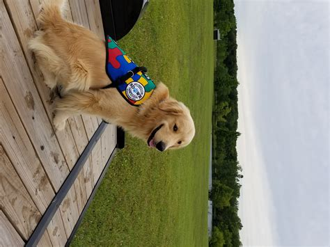 how to an autism service service dogs by warren retrievers delivers autism service to in marysville