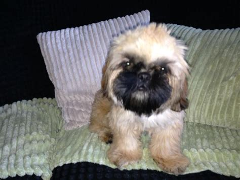 shih tzu with black mask brown with black mask shih tzu breeds picture