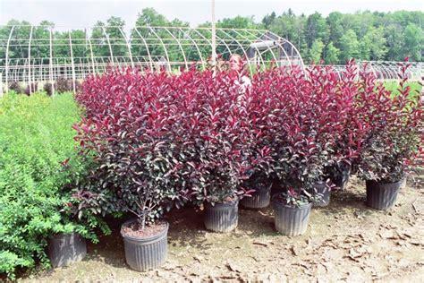 cistena plum flowering shrub the gallery for gt purple flowering tree zone 6