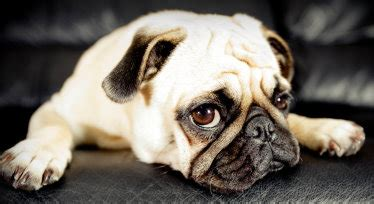 pug breed history pug breed standards been defined by the american kennel club