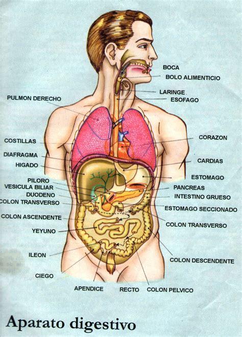 dibujos aparato digestivo respiratorio y circulatorio sistema digestivo esquema imagui