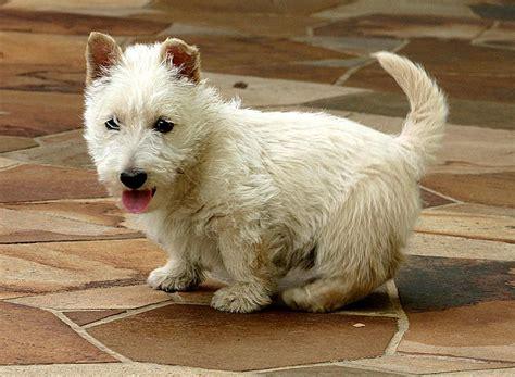 white terrier puppies file scottish terrier white puppy jpg
