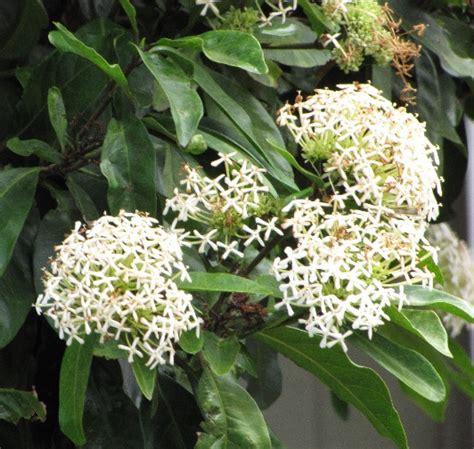 Hibiscus Putih Tumpuk 20 40cm tanaman soka putih jepang white ixora jual tanaman