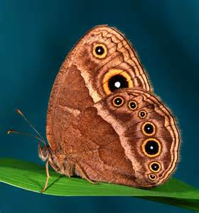 animal that changes color butterflies can evolve new colors amazingly fast