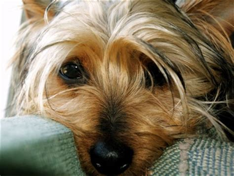 silky terrier puppies yorkie vs silky terrier breeds picture