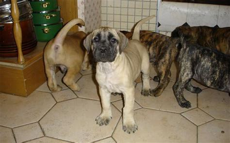 cheap corso puppies for sale imported secuirity and pet dogs for sale at a cheap rate all from a cham pets