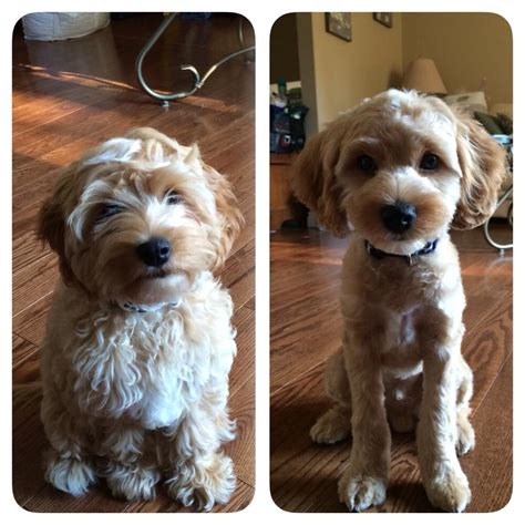 cavapoo haircut before and after cockapoo before and after grooming grooming pinterest