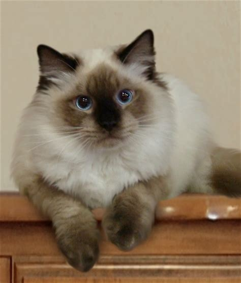 ragdoll breed 20 most affectionate cat breeds in the world ragdoll