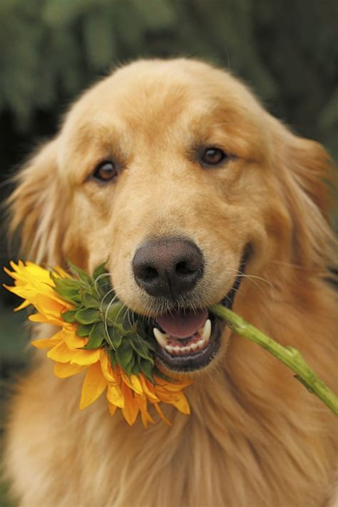 how often should i wash my golden retriever 25 best ideas about golden retriever names on