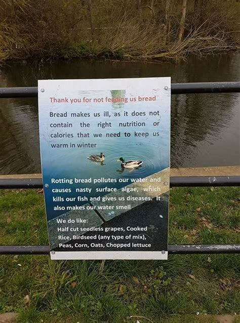 here s why you should never feed bread to ducks