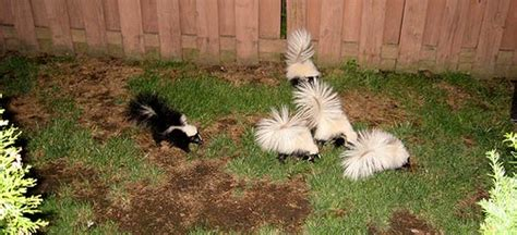 skunk in my backyard skunks digging up the yard apartment therapy
