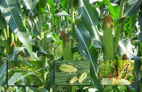 gambar hama  tanaman jagung mitalom