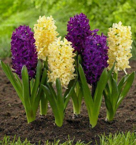 fiori da giardino primavera estate jacintos plantas
