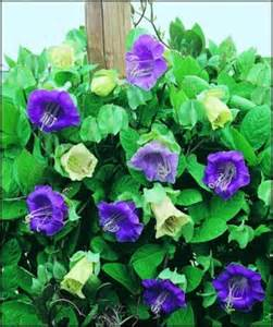 cobaea scandens vine cathedral bells beautiful cup
