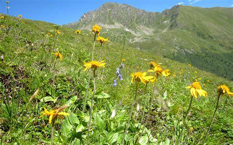 Shoo Nr Arnika berg arnika pflanze arnica montana neue sorten 2016