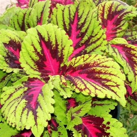 kong coleus simplescaping
