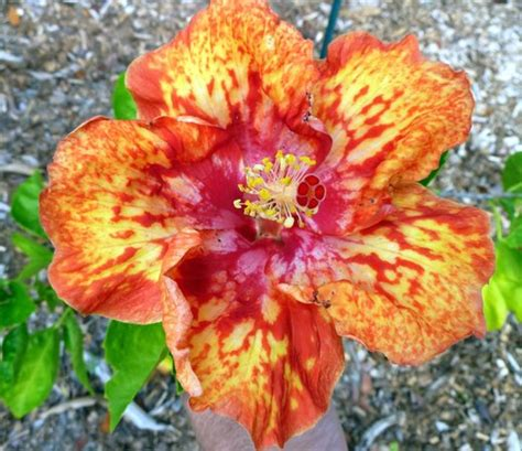 Granny S Diamonds Hibiscus Hybrid Picture Of Sanibel Sanibel Moorings Botanical Gardens