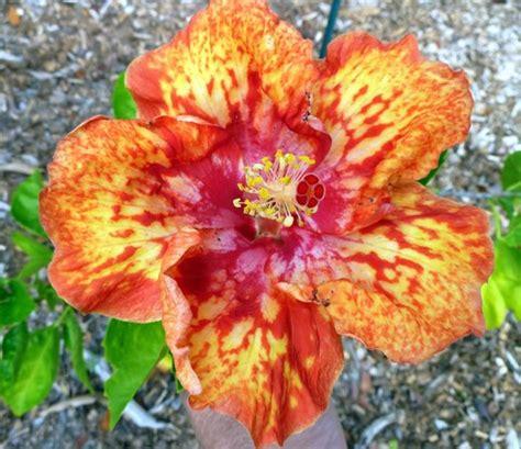 Sanibel Moorings Botanical Gardens S Diamonds Hibiscus Hybrid Picture Of Sanibel Moorings Botanical Gardens Sanibel