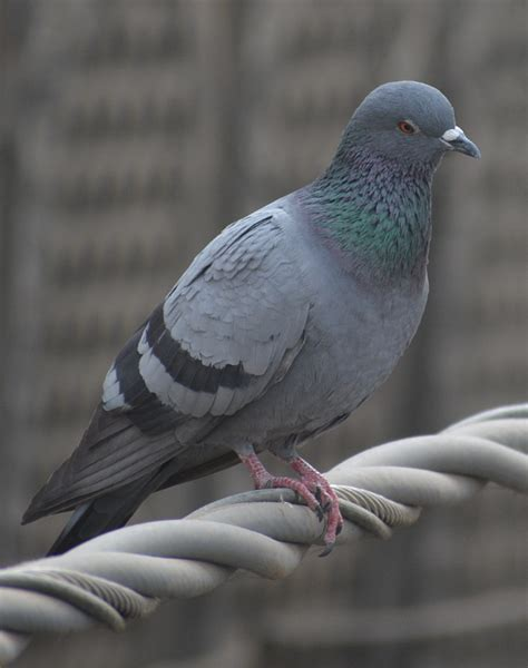 wat doesa brid dove look like columbidae