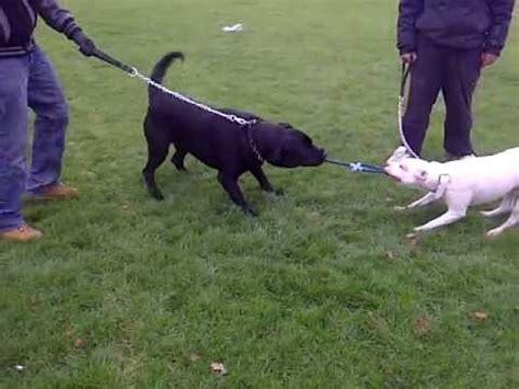 rottweiler vs american bulldog american bulldog vs rottweiler www pixshark images galleries with a bite