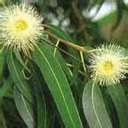tree origination eucalyptus botanical essence inspired origination