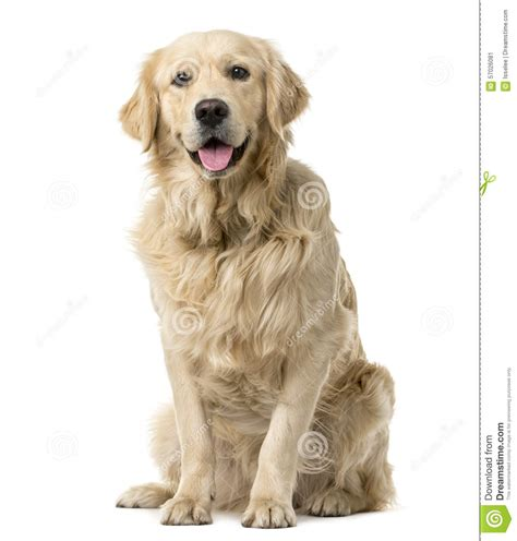 Golden Retriever Sitting Outline by Golden Retriever Sitting Stock Image Image Of Sitting 57026081