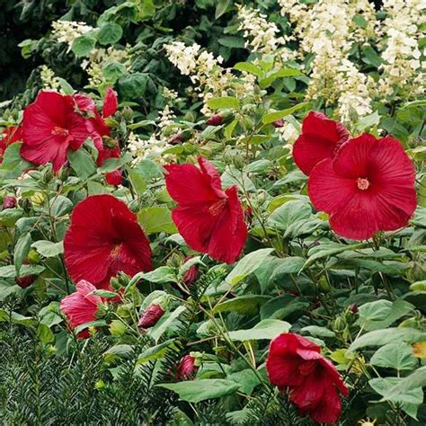 best flowering shrubs best flowering shrubs for hedges hardy hibiscus