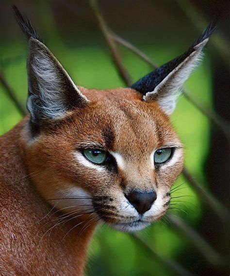 Cat Eye Afrika 191 best cats of africa 4 caracal caracal caracal