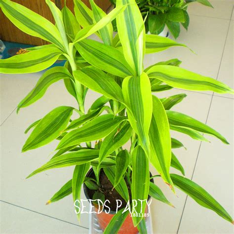 where to buy cheap house plants online get cheap lucky bamboo plant aliexpress com