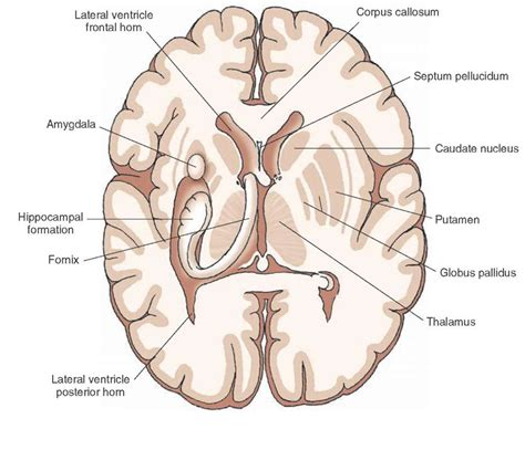 transverse brain section overview of the central nervous system gross anatomy of