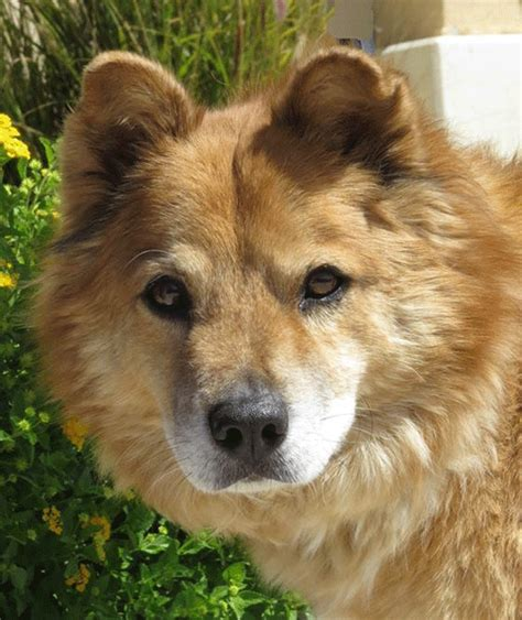 chow mixed with golden retriever golden retriever chow breeds picture