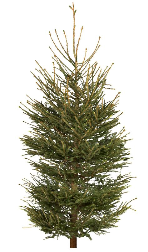 real christmas trees bq large spruce real tree departments diy at b q