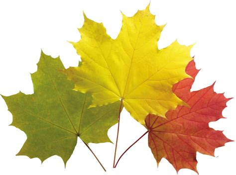 index of data images autumn autumn leaves png images free png yellow leaves pictures