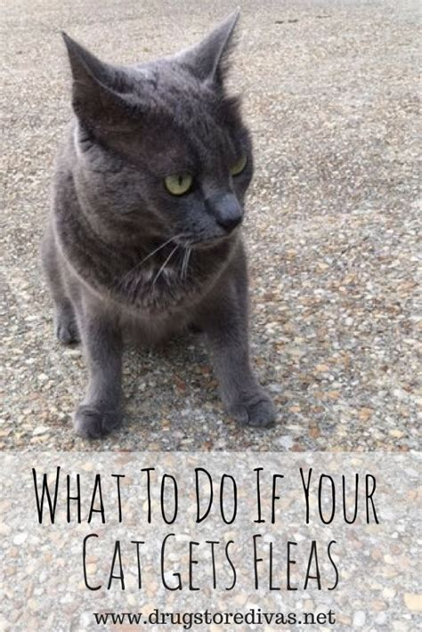 what to do if your has fleas what to do if your cat gets fleas drugstore divas