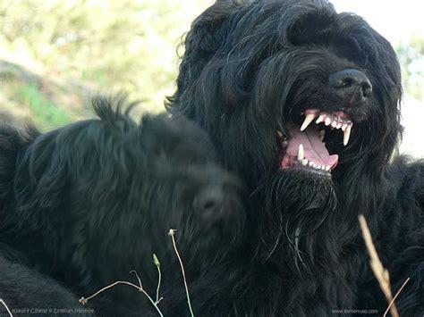 black russian terrier puppies black russian terrier or black russian terrier dogs breeds pets