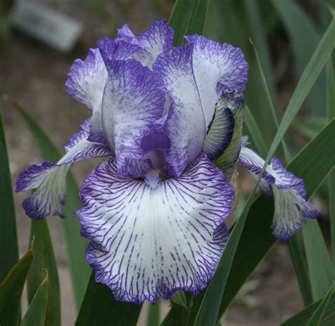 bearded circus bearded iris autumn circus iris germanica iris