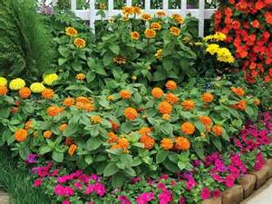 Orange Glory Flower - zinnias cuidados cultivo y mantenimiento verde jard 237 n