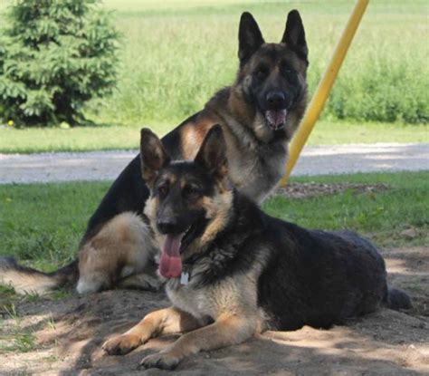 purebred german shepherd puppies for adoption german shepherd puppies for sale in toronto ontario breeds picture