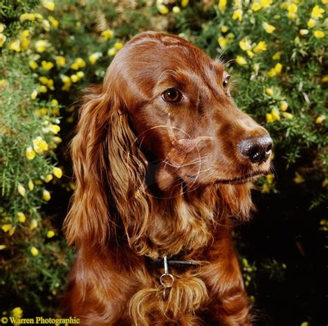 old setter dog 1000 images about english setter gordon setter irish