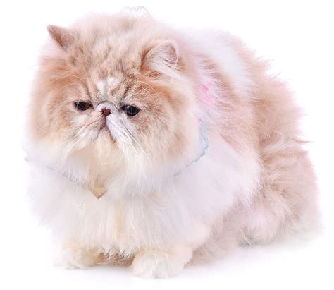 fluffiest breeds fluffiest cat breed top 10 the snuggliest kitties around