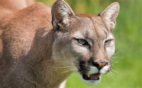 imagenes kitty pumas puma cougar mountain lion wild cat muzzle wallpaper