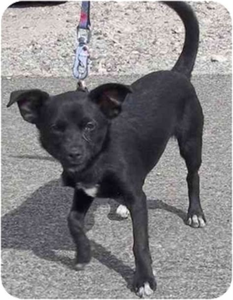 lab chihuahua mix puppies black lab chihuahua mix breeds picture
