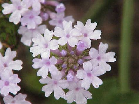 fiore definition verbena wiktionary