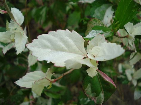 hibiscus plant white leaves and green leaves hibiscus fl flickr