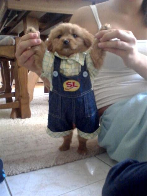 clothes for puppies it s a puppy wearing clothes clothes clothes puppys and