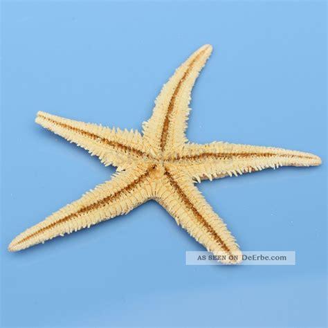 starfish badezimmeraccessoires 5 st 252 ck 3 5 echte seestern dekoration wand deko f 252 r